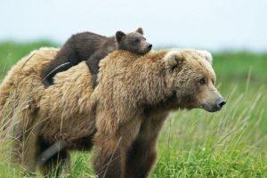 Медведица с детёнышем