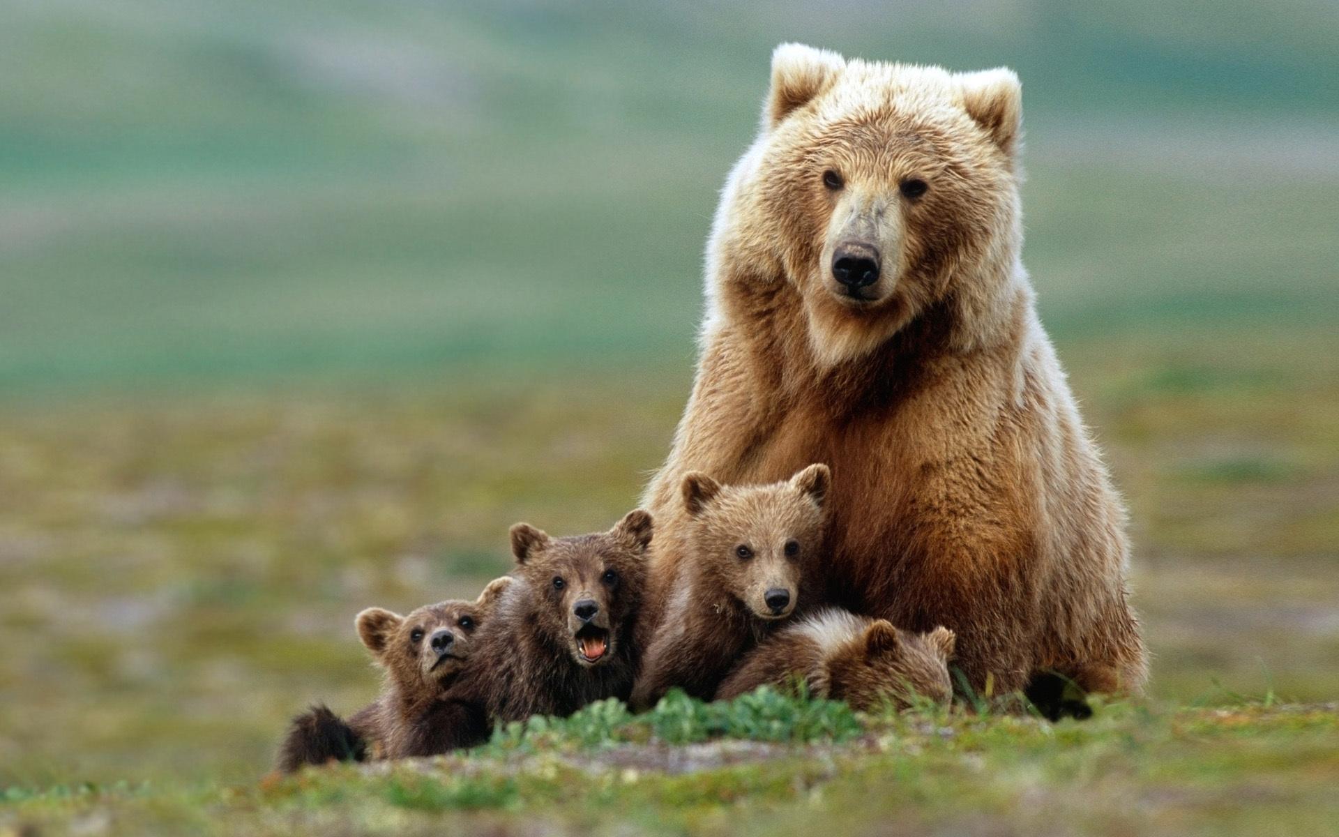Медведь гризли, самый страшный хищник США