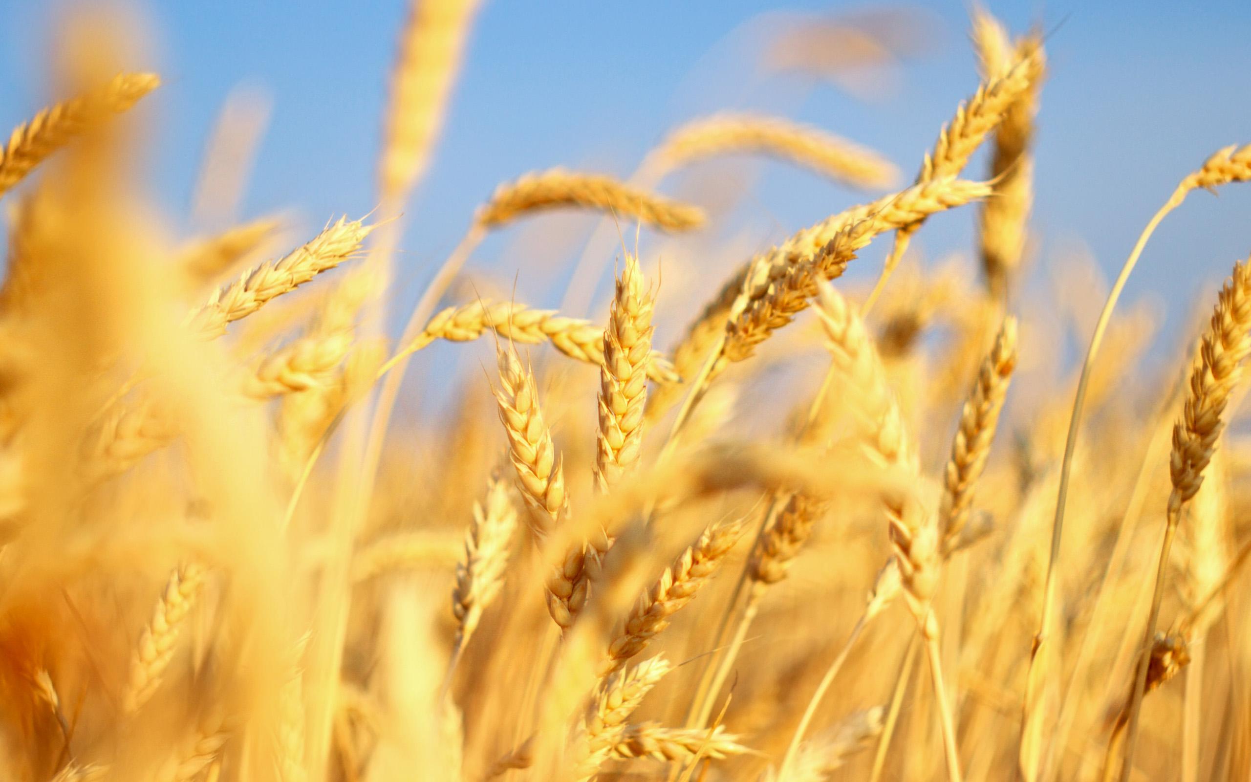 Российская пшеница - качественная и недорогая.