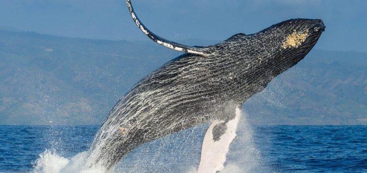 Морская экскурсия с горбатыми китами от «Два Банана»