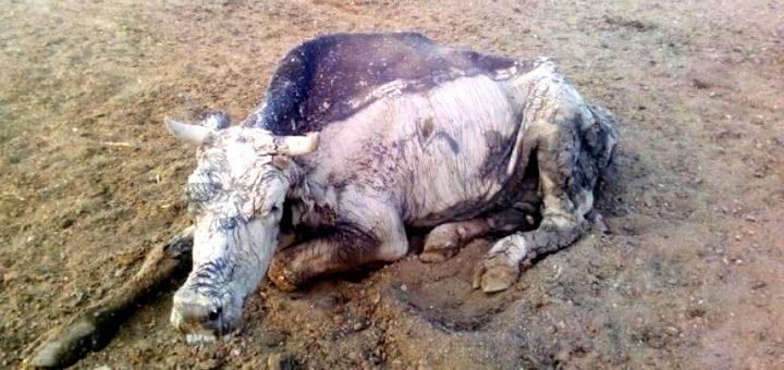 Чиновник накормил краснодарцев мясом павших коров