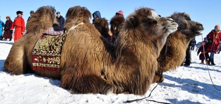 Шамана, который сжёг пять верблюдов, предложили привлечь к уголовной ответственности