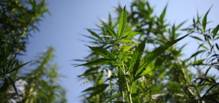 Верховная рада поддержала легализацию марихуаны в Украине
